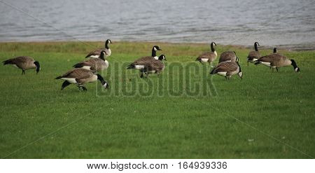 Canada Goose (branta Canadensis) Flock Next To The Water