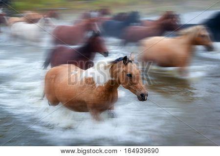 Horses Crossing A River In Alberta, Canada