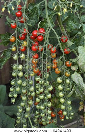 Cherry tomatoes F1 Sweet Million ripening on the vine in a greenhouse.