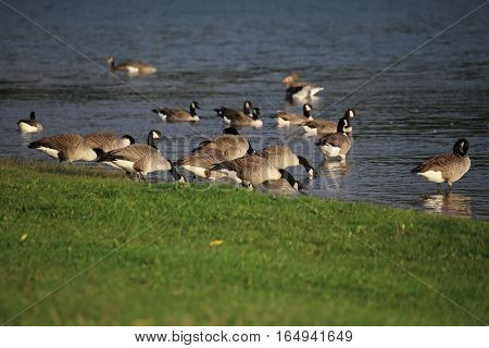 Mixed Goose Flock Next To The Water