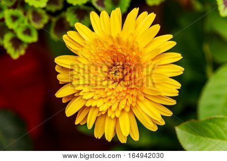 Yellow Gerbera flower on natural background