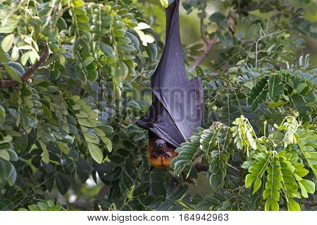 Lyle's flying fox Pteropus lylei Bat Sleeping