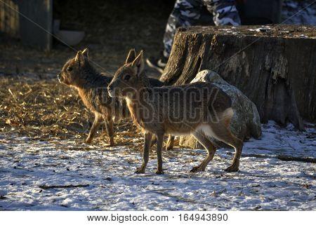 Patagonian mara (Dolichotis patagonum) in the winter. In Zagreb Zoo, Croatia.