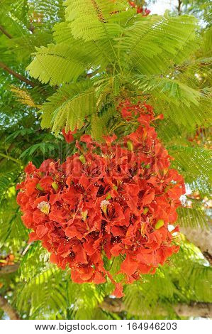 Tree with bright scarlet flowers and feathery leaves in Israel