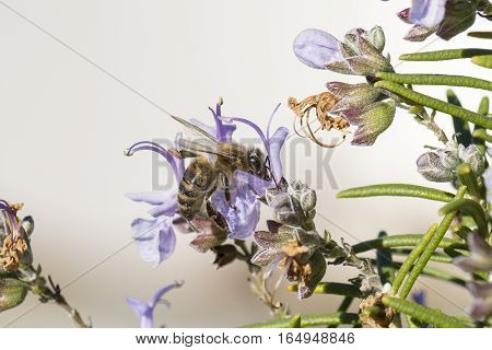 A bee feeds on nectar of rosemary flowers