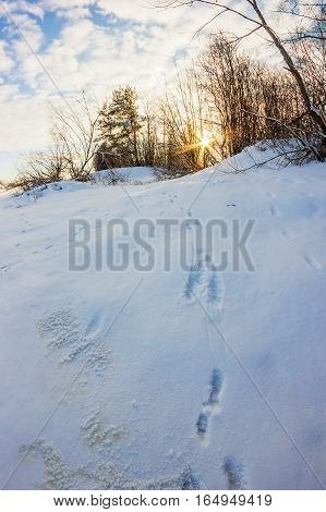 Hare tracks in the snow. Hare ran close to the village and left traces.