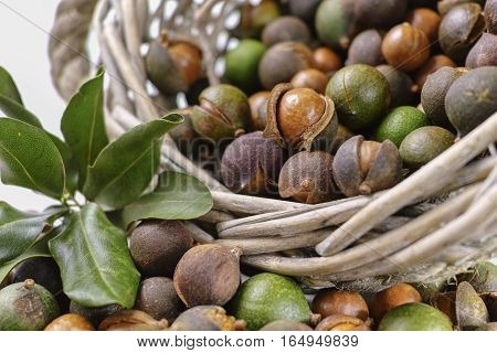Macadamia is shell nuts harvest close up