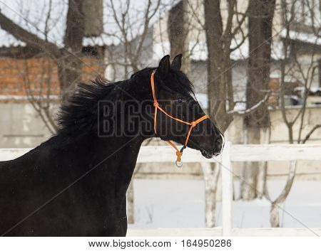 black horse standing in a paddock on the snow near a white fence in winter