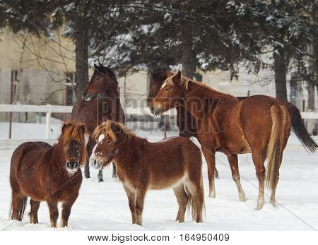 Group of red horses and ponies in the paddock stands on the snow near a white fence in winter