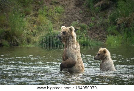 Brown Bear Cub And Sow