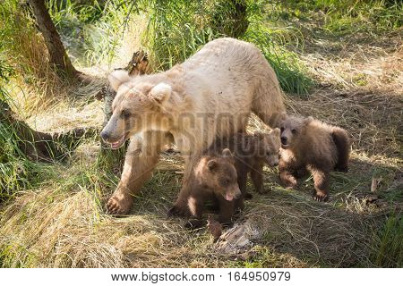 Alaskan Brown Bear Sow With Three Cubs