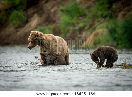 Alaskan Brown Bear Sow And Two Cubs