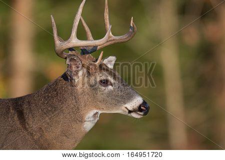 Large White-tailed Deer Buck In Open Meadow