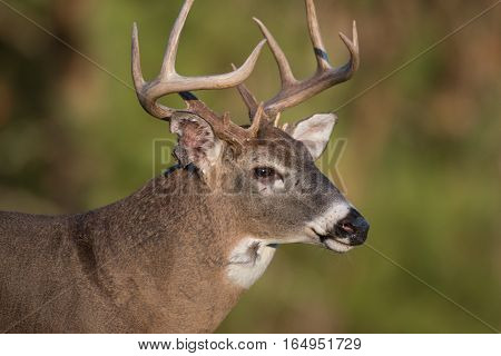 Large White-tailed Deer Buck In Open Meadow