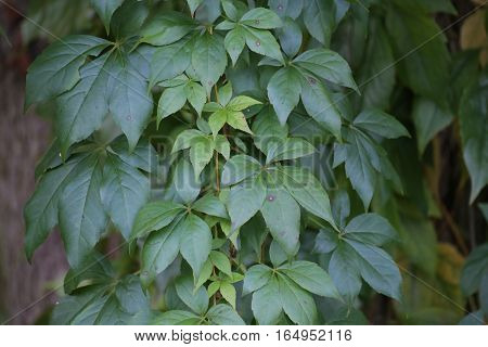 Parthenocissus Vitacea, Also Known As Thicket Creeper