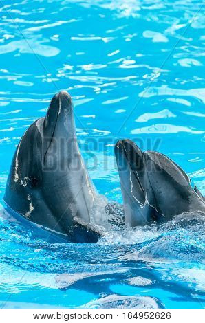 Pair of dolphins dancing in light-blue water in a pool