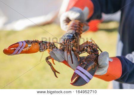 Freshly cooked huge lobster. Lobster food festival