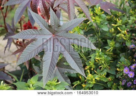 Leaf Of The Poisonous Castorbean (ricinus Communis)