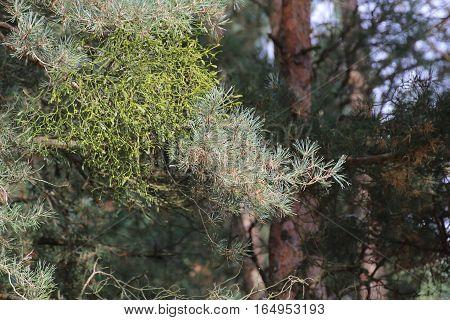 Viscum Album Ssp Austriacum (european Mistletoe) On A Pine