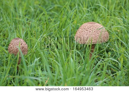 Small And Big Fruit Body Of Parasol Mushroom (macrolepiota Procera) In Grass