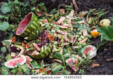 watermelon dump waste in the garden in summer.