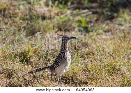 Road Runner on side of road looking for an easy meal.