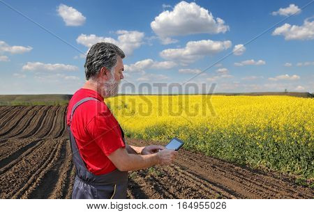Farmer Or Agronomist Examine Blossoming Rapeseed Field