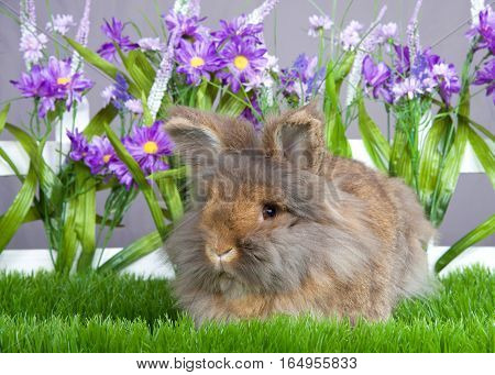Small brown angora bunny laying in green grass in front of a white picket fence with purple flowers by a gray wall