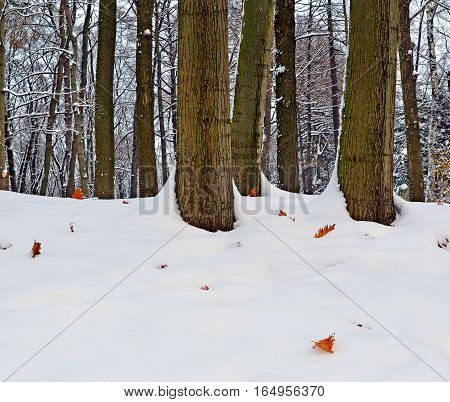 Landscape. Early winter in park. On the hill trunks of oaks among snowdrifts and last fallen-down orange leaves on snow. Image can be used as background.