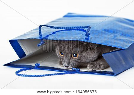 Funny gray cat hid in a gift bag on white background