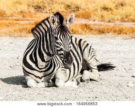 Zebra lying on a dusty ground in the middle of savanna, Etosha National Park, Namibia, Africa.