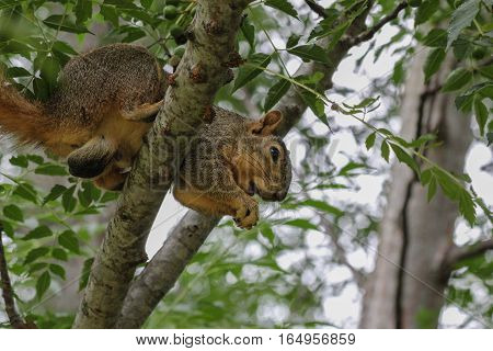 Big male fox squirrel in tree after stealing peanuts.