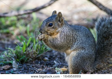Fox squirrel caught on ground getting his fill of sunflowers.
