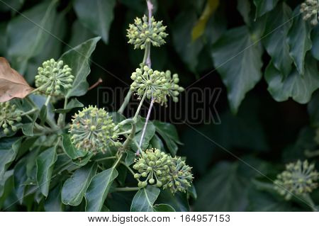 Blossoms Of Hedera Helix, The Common Ivy