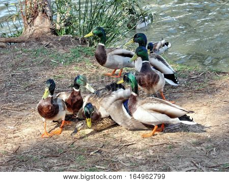 The duck rape on a shore of the pond of Ramat Gan Park Israel March 30 2007