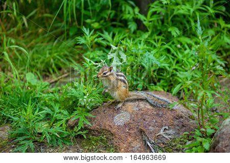 wild chipmunk sitting on the rock in nature