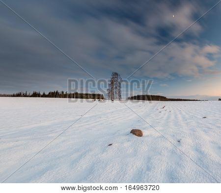 Beautiful Winter Field Landscape With Lonely Birch Tree