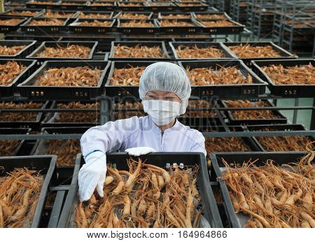 Seoul Korea - October 17 2016: Woman worker is drying ginseng for exporting in a company