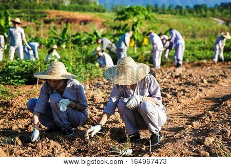 Guangxi China - September 8 2016: Farmers are clearing the weed on the planting field