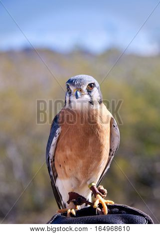 American Kestrel (Sparrowhawk) on the grounds of the Sonoran Desert Museum in Tucson, AZ