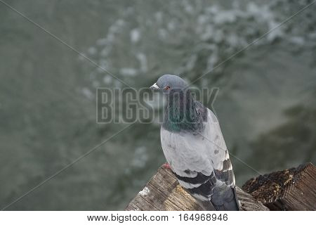 A pigeon sitting on a wood post overlooking the ocean
