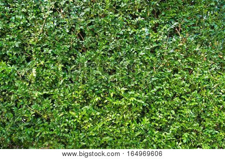Green Plant, Small Leaves Grass Texture