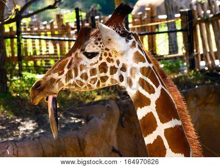 giraffe (Giraffa) with long tongue hanging down close-up
