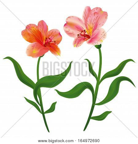 Alstroemeria flowers with green leaves. Vector illustration.