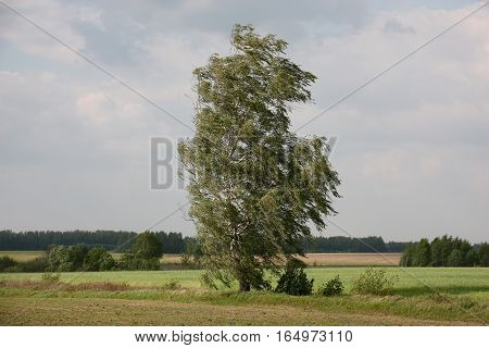 Among a field of a branch of a lonely birch bend under impulses of a strong wind.
