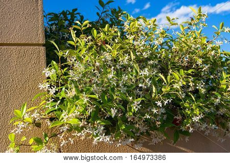 Jasmine Flowers Against Blue Sky And Sandstone Brick On The Background