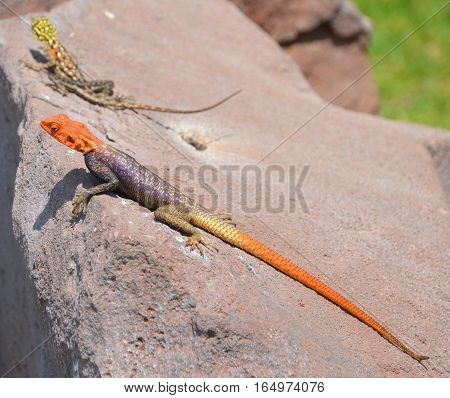 The common, red-headed rock or rainbow agama is a species of lizard from the Agamidae family found in most of sub-Saharan Africa