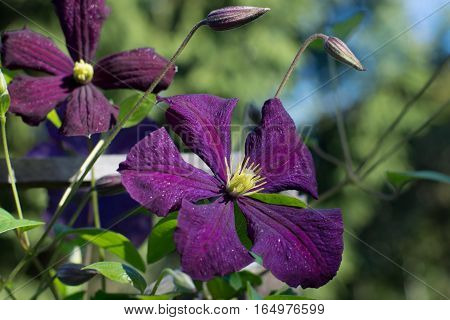 Dark purple clematis flower with yellow stamens glistening in the sun and yet not reveal buds
