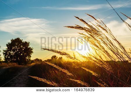Meadow grass close-up on a background of golden sunset and a tree on the far plane