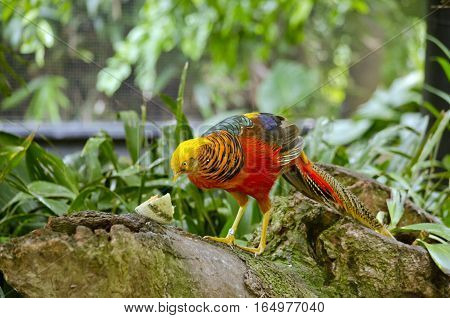 the golden pheasant is eating melon on a tree